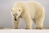 Polar bear (Ursus maritimus) Angry big polar bear, Churchill, Manitoba, Canada