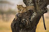 Léopard (Panthera pardus) au repos sur un acacia, Serengeti, Tanzanie