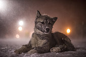 Puppy Canadian Eskimo Dog waiting in the blizzard of the night, Churchill, Manitoba, Canada