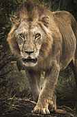 Lion (Panthera leo) walking straight to the camera, Tsavo National Park, Kenya