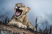 Lion (Panthera leo) Laughing cub, Tsavo National Park, Kenya
