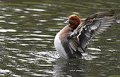 Canard siffleur (Anas penelope) mâle sur l'eau, Estuaire de la Loire, Pays de Loire, France
