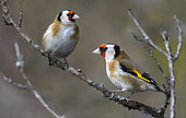 Goldfinches (Carduelis carduelis) on a branch, Northern Vosges Regional Nature Park, France