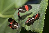 Postamn butterfly (Heliconius melpomene rosina) displaying, Butterflyhouse, France