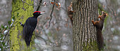 Black woodpecker (Dryocopus martius) and Red squirrels (Sciurus vulgaris) on trees, Northern Vosges Regional Natural Park, France