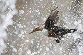 White-throated Dipper (Cinclus cinclus) flies through the drops of a Waterfall, Stubaital, Tyrol, Austria, Europe