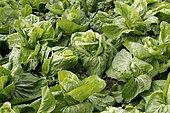 Salad Sugarloaf (Cichorium intybus), Heurteauville, Normandy, France