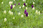 Elder-flowered Orchid (Dactylorhiza sambucina), Nationalpark Ecrins, Département Isère, Rhône-Alpes, France, Europe