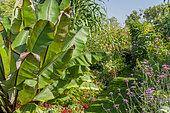 Ensete ventricosom maurelii, Verbena boanariensis