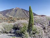 Pterocephalus lasiospermus, Echium wildpretii, Parc national de Las Canadas, Pico del Teide, Tenerife, Iles Canaries, Espagne