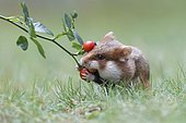 Hamster (Cricetus cricetus) taking a rosehip for its hoard, Austria, Europe