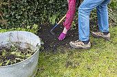 Manual weeding of the garden in the spring, Pas de Calais, France