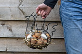 Woman carrying a basket filled with chicken eggs in a garden