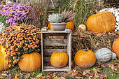 Decoration for Halloween, Pumpkins, Chrysanthemums and Heather in a garden, autumn, Germany