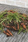 "Harvest of ""Nantaise"" carrots from an organic vegetable garden, France"