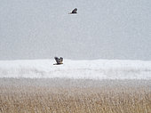 Marsh Harrier Circus aeruginosus in blizzard over reedbed on Cley Marshes NWT Reserve, Norfolk, England