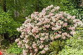 Rhododendron 'Virginia Richards' in bloom in a garden