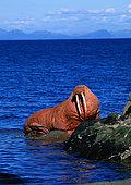 Pacific Walrus (Odobenus rosmarus divergens) on shore, Alaska, USA