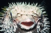 Longspined porcupinefish (Diodon holocanthus) inflated at night, China