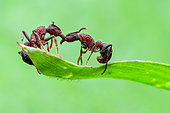 One ant helping another ant (Gnamptogenys bicolor) on a grass leaf.