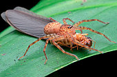 Young huntsman spider (Heteropoda sp.) feasting on termite swarmer (Termitidae).