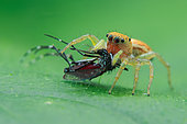 Jumping spider (Cosmophasis lami) prey on aedes mosquito.