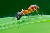 A yellow ant (Camponotus sp.) on a grass leaf.