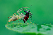 Common garden lynx spider (Oxyopes lineatipes) catching aedes mosquito.