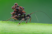 Ant snatching assassin bug (Acanthaspis petax) carrying ants' corpses on its back for camouflage.