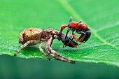 A crab spider (Strigoplus sp.) with prey (Tetraponera rufonigra)