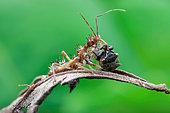 An assassin bug (Reduviidae) with prey, a horned treehopper (Membracidae).