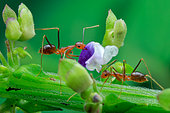 Yellow ant (Camponotus sp.) picking purple flower.