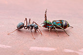 A female jumping spider (Siler semiglaucus) catching, an ant (Dolichoderus sp.).