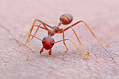Weaver ant (Oecophylla smaragdina) bite my skin.