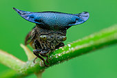 Horned treehopper (Centrotypus sp)