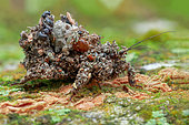 Assassin bug (Reduvius sp.) also known as masked hunter.