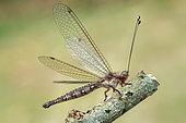 Owlfly (Ascalaphidae) resting.