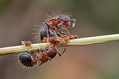 Group of ants (Meranoplus sp.) tending aphids (Aphidoidea) on grass chute.