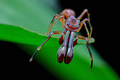 High angle shot of a male ant-mimicking jumping spider (Myrmarachne sp.)