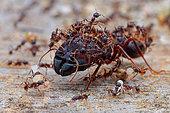 Minor worker ants protecting the major worker ant (Formicidae - Myrmicinae - Carebara diversa).