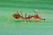Weaver ant (Oecophylla smaragdina) bullying another small ant.