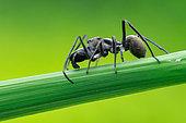 Ant-mimicking Jumping Spider (Myrmarachne maxillosa) on Lalang Grass (Rhizoma Imperatae), Taman Metropolitan Relau, Pulau Pinang, Peninsular, Malaysia.