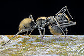 Golden spiny ant (Polyrhachis proxima) carrying injured sibling.