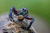 Araignée sauteuse mâle (Hyllus sp) capturant une mouche domestique (Musca sp)