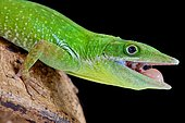 The Haitian white lipped anole (Anolis coelestinus) is endemic to Hispaniola and then the Haiti part.