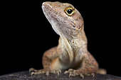 The brown anole (Anolis sagrei) also knwon as the Bahamas anole was native to the Bahamas and Cuba. But these lizards are highly invasive and are now found across the southern United States, parts of South AMerica, Taiwan,Caribbean islands.
