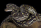 The Angola python, Python anchietae, is a rarely seen python species found in Angola and the extreme north of Namibia.