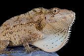 Anolis (Chamaeleolis) barbatus, Giant bearded anole, Cuba