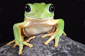 The Mexican leaf frog, (Pachymedusa dacnicolor) is a giant tree frog species endemic to Mexico.