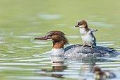 Common merganser (Mergus merganser), female with young bird on her back, swims in water, Germany, Europe